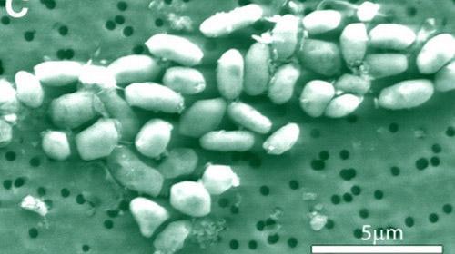 Бактерии GFAJ-1